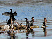 Mali vranci - kormorani