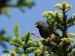 Red-footed falcon on Rusanda
